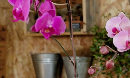 How to Maintain Orchids