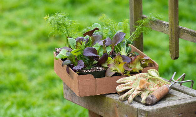 How to plant and care for lettuce at home