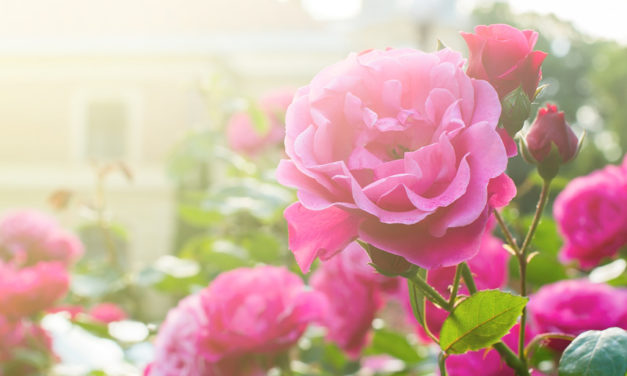 How to maintain an ornamental garden in mid-summer