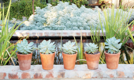 How to add desert roses to your garden