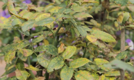 How to Deal with Rust on Roses