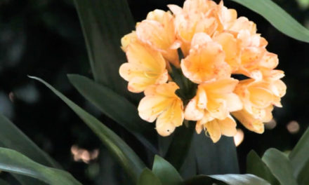 How to Take Care of a Clivia Plant