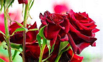 How to plant and care for roses
