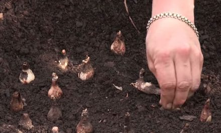 How to plant flower bulbs in the garden