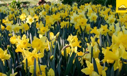 How to plant winter flower bulbs