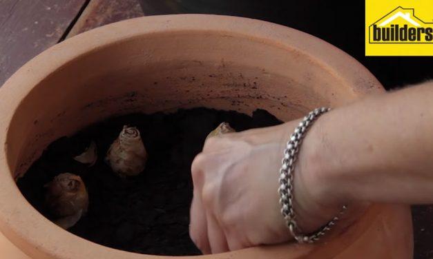 How to grow summer bulbs in pots.
