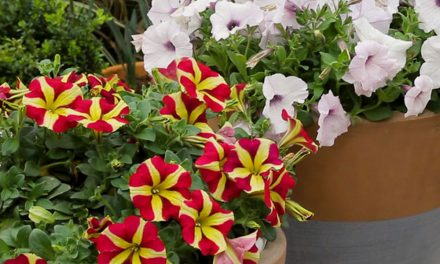 Everything you need to know about petunias