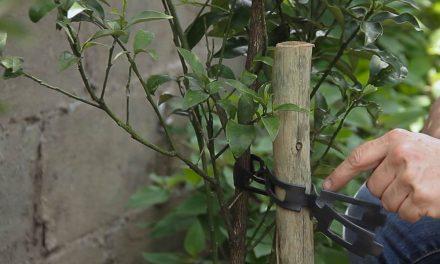 How to stake trees