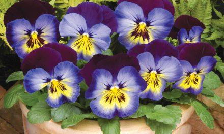Pansies to brighten winter gardens