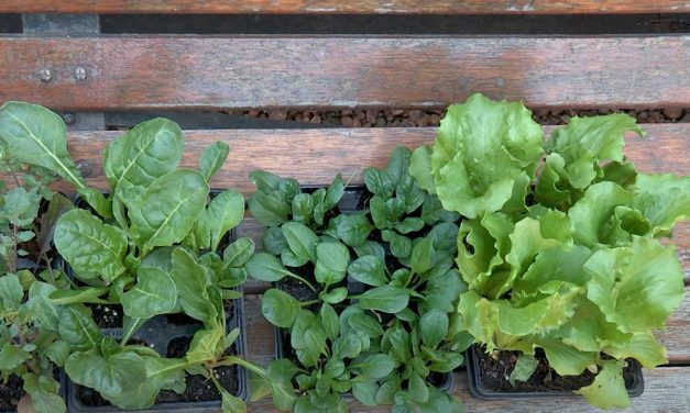How to sow and grow 3 green leafy veg