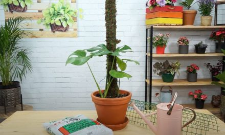 Making a Moss Pole & Training your Monstera